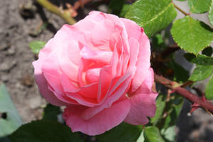 my first rose in the garden by GLO-HE