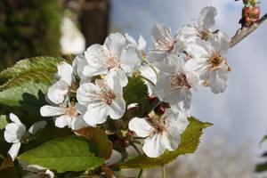 Tree blossom by GLO-HE