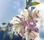Cherry Blossom by myspeedofdark