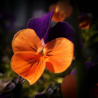 Violaceae by Weissglut