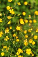 Little yellow flowers by fotografka