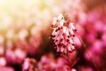 Pink spring by fotografka