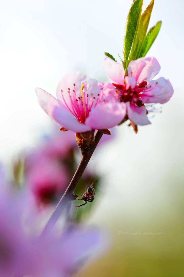 Peach spider by fotografka