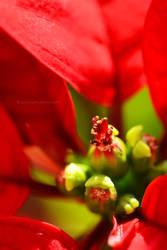 Poinsettia by fotografka