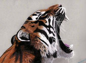 Yawning Tiger - Colored Pencils Drawing by JasminaSusak