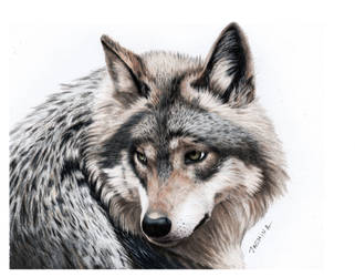Pencil Drawing of a grey Wolf by JasminaSusak