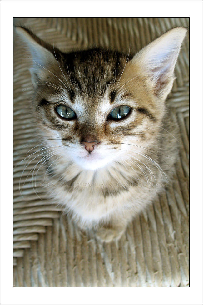 Cuddly Kitten by donia