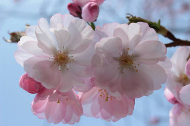 Cherry Blossoms 1 by wuestenbrand