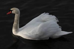 Swan 2 by wuestenbrand