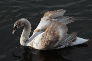 Swan 3 by wuestenbrand