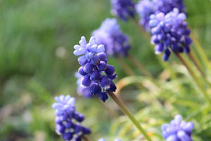 Grape Hyacinth by wuestenbrand