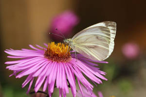 Butterfly 3 - Small Cabbage White by wuestenbrand