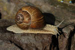 Snail 2 by wuestenbrand
