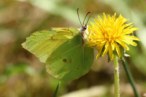 Butterfly 7 - Common Brimstone by wuestenbrand