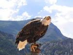 Bird stock 16 eagle by Momotte2stocks