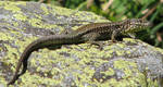 Wild animal 246 - mountains lizard by Momotte2stocks