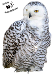 Cut-out stock PNG 20 - snowy owl by Momotte2stocks