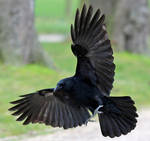 Bird 312 - flying crow by Momotte2stocks
