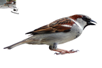 Cut-out stock PNG 86 - happy sparrow by Momotte2stocks