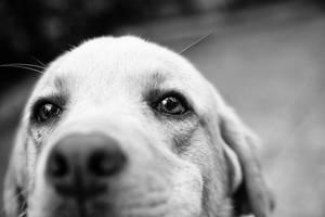 Labrador by BobRock99