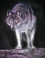 Mountain Wolf by ShyloLove