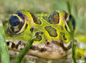 Leopard frog 1 by Nini1965