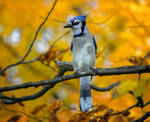 A Blue Jay in Autumn by Nini1965