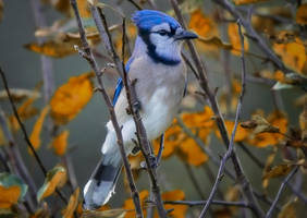 A Blue Jay in Autumn (1) by Nini1965