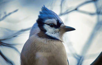 A Portrait of a Blue Jay by Nini1965