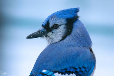 Portrait of a Blue Jay by Nini1965