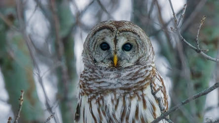 Portrait of a Barred Owl by Nini1965