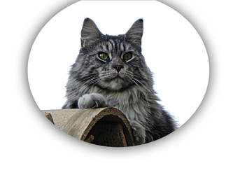 My maine coon by Flore-stock