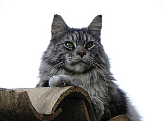 Monmainecoon2 by Flore-stock