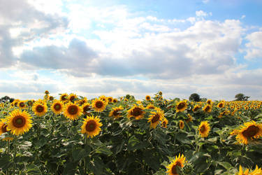 Tournesols by Flore-stock
