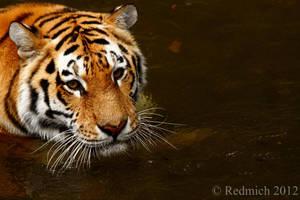 Tiger bath by Lion-Redmich