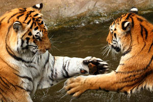 Tiger high-five by Lion-Redmich