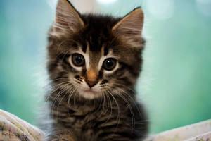 Kitten by kalicobay