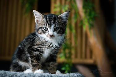 Shelter Kitten by kalicobay