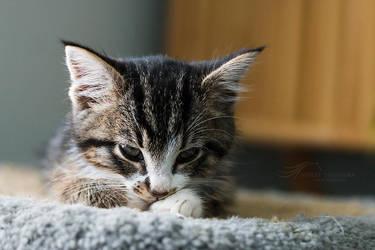 Sleepy Kitten by kalicobay