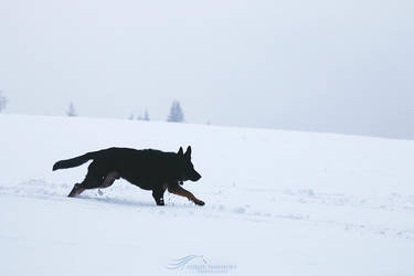 Snowy Run by kalicobay
