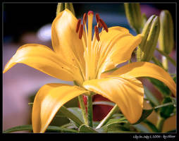 Lily in July by oelje