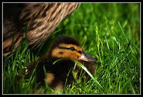 Small duck by serenityamidst