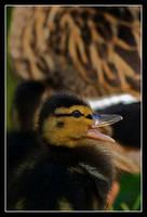 Little duck. by serenityamidst