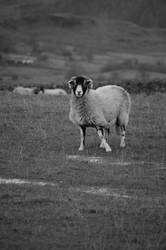 Sheep by juliejools