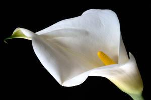 Lily by ninereeds-DA
