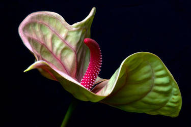 Anthurium by ninereeds-DA