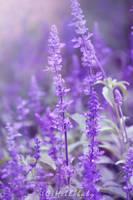 Violet Love by HBisnt