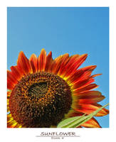 Sunflower by beatlefreak
