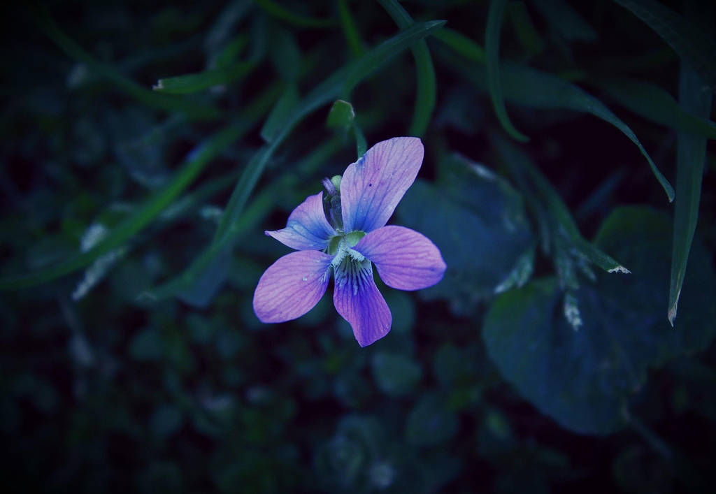 wild violet by Nimbue