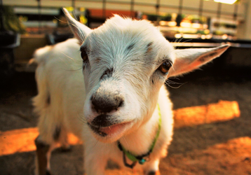 wanna goat smoochie? by Nimbue